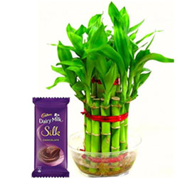 Graceful Lucky Bamboo Plant with Cadbury Silk Chocolate Bar